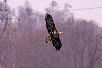 Bald Eagles At Conowingo Dam 11-22-19